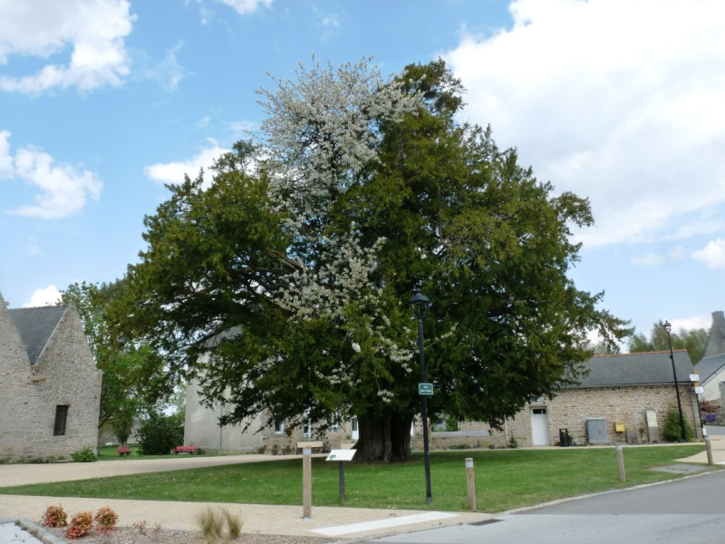 A Saint-Launeuc, l'arbre remarquable, un if-merisier multi centenaire est actuellement en fleurs, se fichant pas mal du confinement.