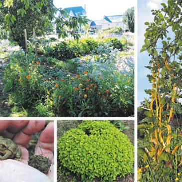 L'été ou le temps des récoltes dans les potagers