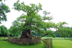 Le chêne à Guillotin a bénéficié de travaux de préservation il y a quelques années.