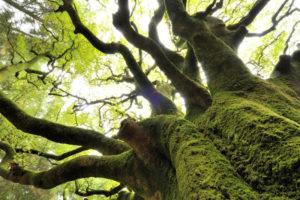 Le hêtre Ponthus demeure l'arbre emblématique de la forêt de Brocéliande. ©Yvon Bouëlle.