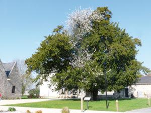 L'if-merisier de Saint-Launeuc est une curiosité botanique à lui seul.