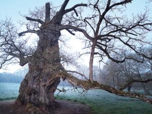 Le chêne à Guillotin attire chaque année de très nombreux visiteurs