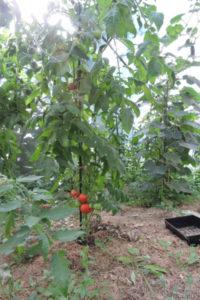 Obtenir des tomates en extérieur n'est pas toujours très facile à cause du mildiou.
