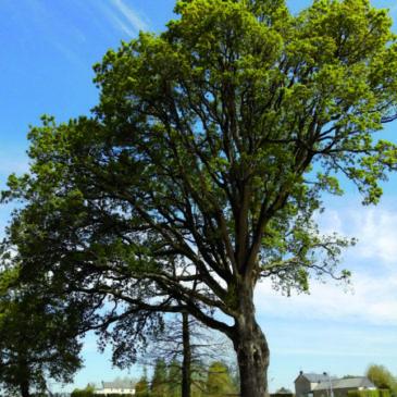 Le chêne sessile tricentenaire planté sous Colbert sera à l'affiche au marché aux plantes.